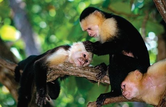 Life Time Tours of Costa Rica - Day Tours : white faced monkeys