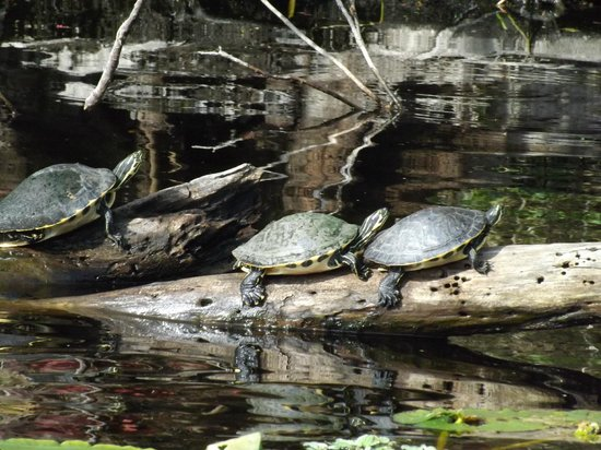 Ormond Beach: See Turtles in the Tomoka Forest at the marshes
