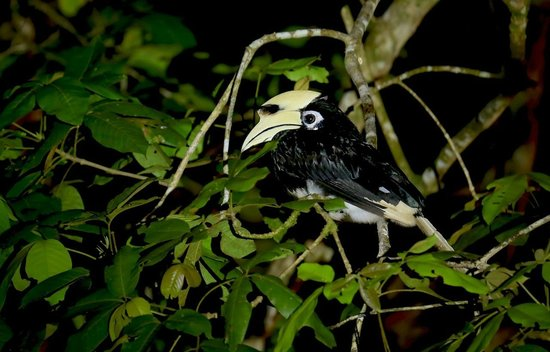 Proboscis Lodge Bukit Melapi: Hornbill sleeping outside our lodge