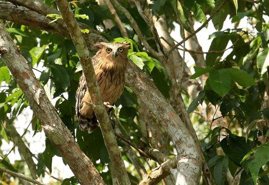 Proboscis Lodge Bukit Melapi : Proboscis Lodge: Owl in front of our lodge