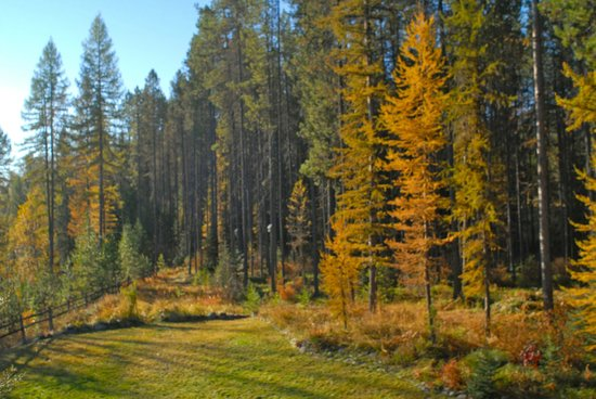 Moss Mountain Inn: Larches turn gold in the fall.