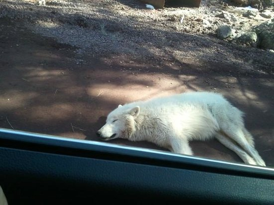 Bearizona Wildlife Park: Wolf napping on the road