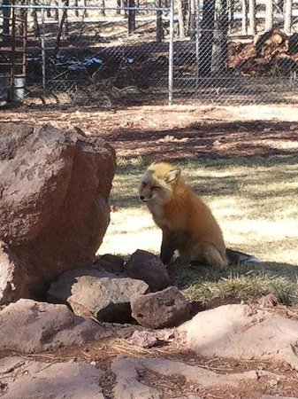 Bearizona Wildlife Park: Very inquisitive fox