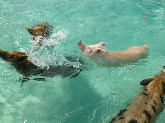 Sandals Emerald Bay Golf, Tennis and Spa Resort: Swimming with Pigs