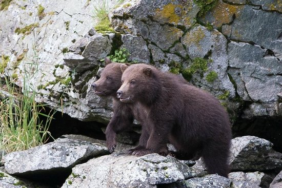 AK Adventures, Inc. - Day Tours: Bear cubs