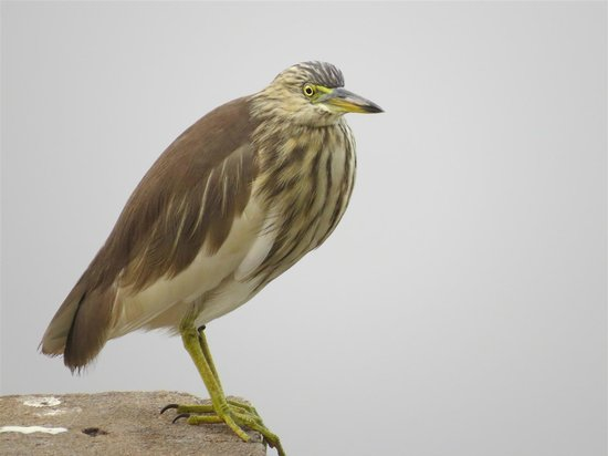Villa Talangama: Indian Pond Heron, just down the road