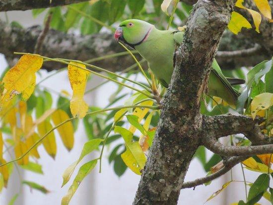 Villa Talangama: Rose-ringed Parakeet, just down the road