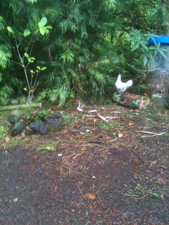 A Beautiful Day, Nani La 'Ao: nice chickens on property