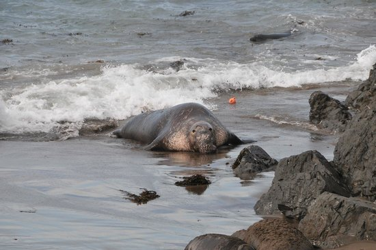 Elephant Seal Rookery: A bull seal deciding to play catch with the ball