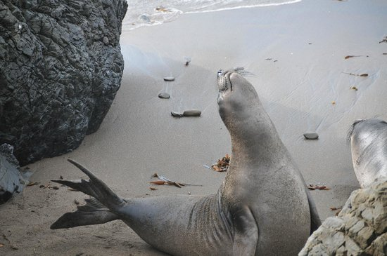 Elephant Seal Rookery: Listen to the elephant seals telling their own story
