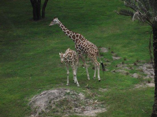 Disney's Animal Kingdom Villas - Kidani Village: View from our Savannah Room