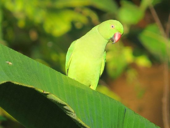 Kalu's Hideaway: Female Rose-ringed Parakeet, just across the road
