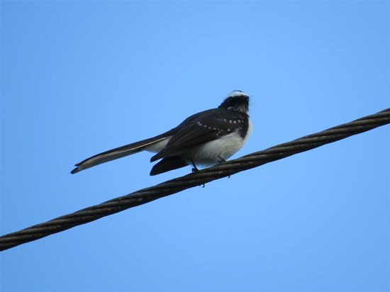 Kalu's Hideaway: White-browed Fantail - on the property