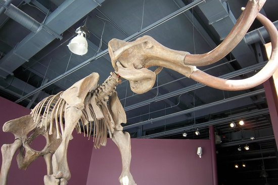 Kenosha Public Museum: Mammoth skeleton found in Kenosha