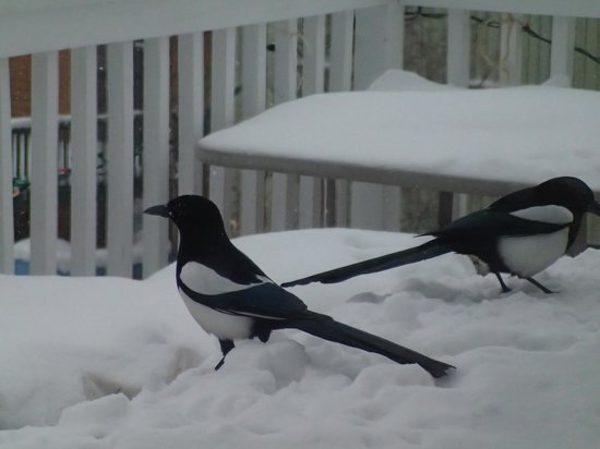 Blue Raven B&B: magpies on the deck, overlooking Great Slave Lake