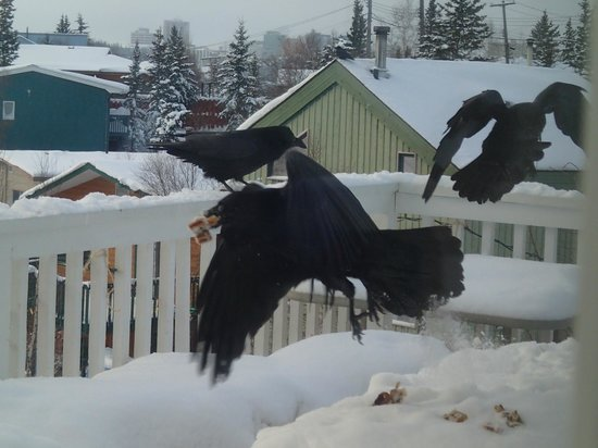 Blue Raven B&B: ravens gathering snacks from the deck