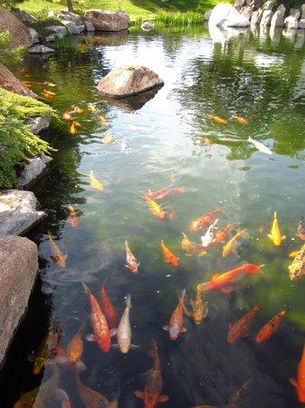 Koi pond picture of japanese friendship garden phoenix for Japanese friendship garden san jose koi fish
