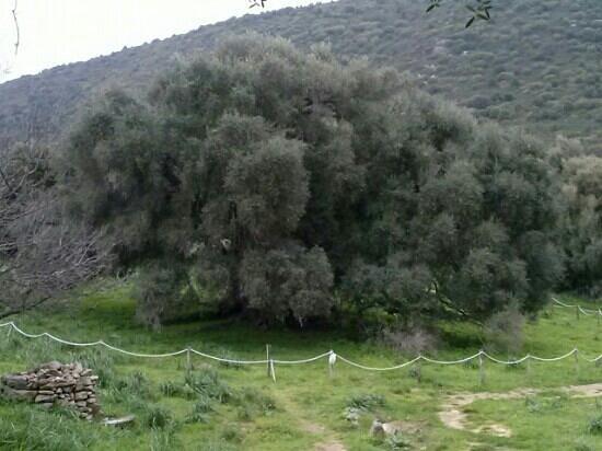 Luras, Italie : bellissimo olivastro