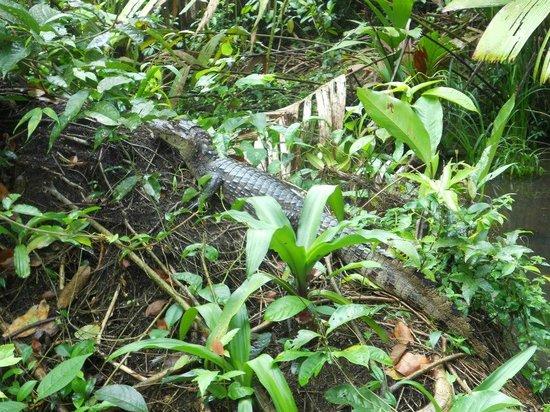 Laguna Lodge Tortuguero: en el recorrido,un cocodrilo descansando sobre un tronco