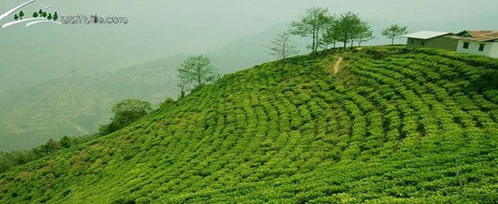 Tea garden at Hile, Dhankuta
