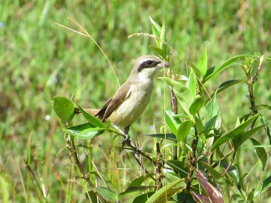 Martin's Simple Lodge: Brown Shrike, from the balcony at Martin's
