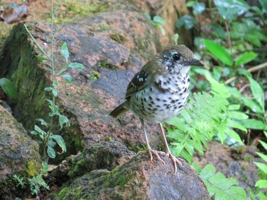 Martin's Simple Lodge: Spot-winged Thrush, from the balcony at Martin's