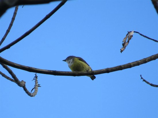 Martin's Simple Lodge : Legge's Flowerpecker, just up the hill from Martin's