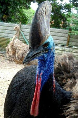 Desaru Ostrich Farm: Cassowary