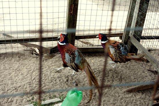 Desaru Ostrich Farm: Pheasants