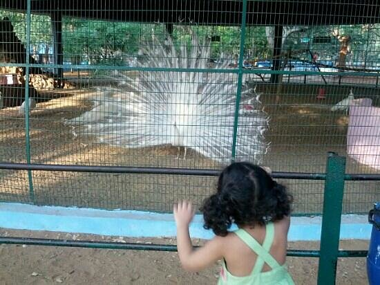 Arignar Anna Zoological Park: white peacock dancing in the Chennai zoo