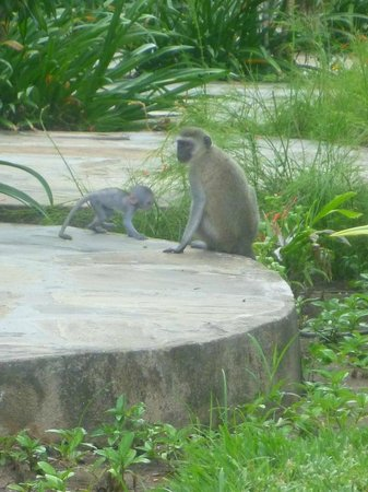 Leopard Beach Resort & Spa: Monkeys in the resort gardens