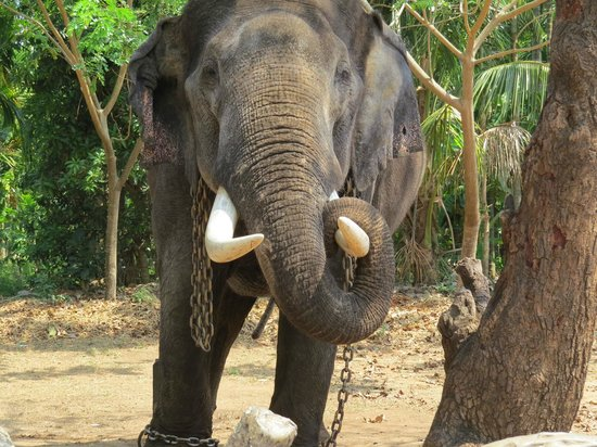 Shimoga, India: One of the elephants at Sakrebailu