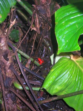 Red Frog Beach Island Resort & Spa: Red Frogs. . .they're so small