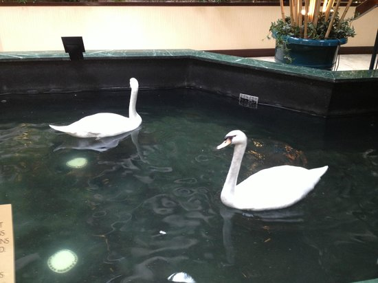 Embassy Suites by Hilton Dulles Airport : the resident swans!