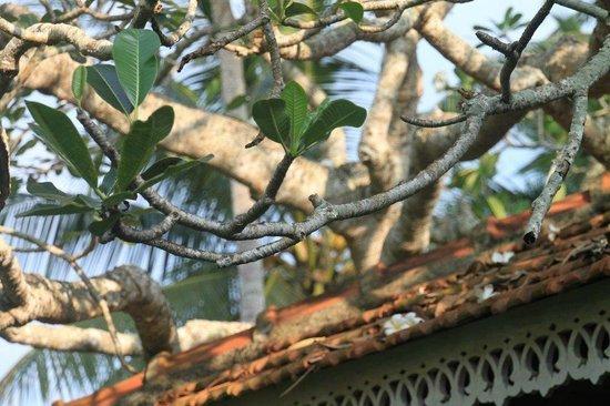 Villa Modarawattha: frangipani trees