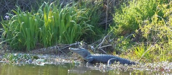 Cajun Encounters: Gator up close!  :-)