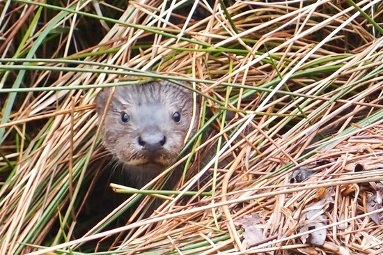 The Old Rectory on the Lake: Otter Pup