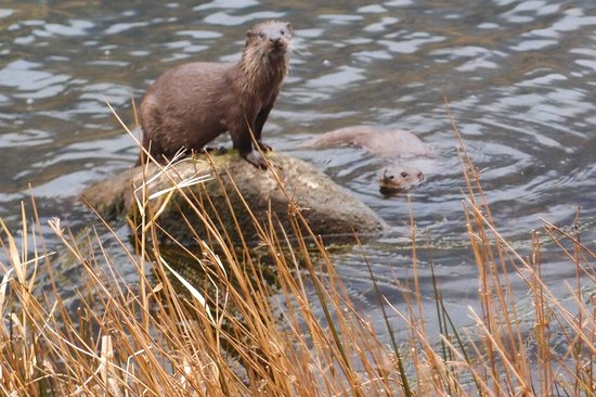 The Old Rectory on the Lake: Otter Mum