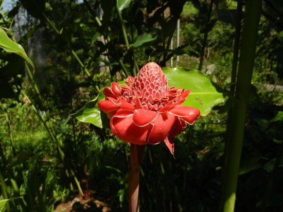 Pura Vida Gardens and Waterfalls: One of the flowers in the gardens