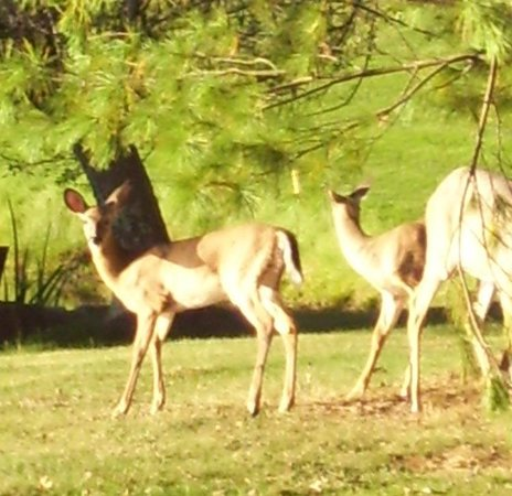 The Resort at Glade Springs: Deer that were walking around on the property