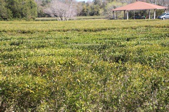 Charleston Tea Plantation: Field of growing tea plants.