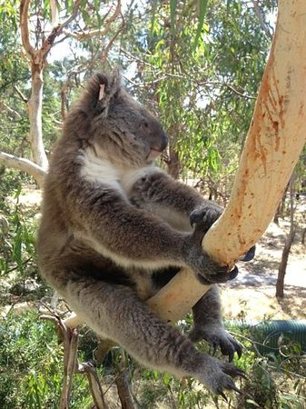 Phillip Island Nature Parks - Koala Conservation Centre: just one of the many locals