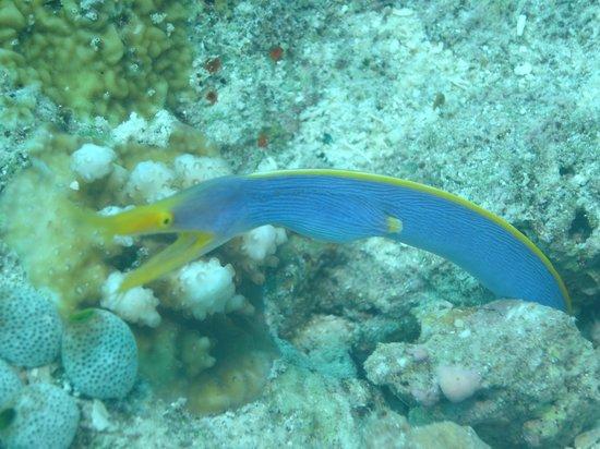วากาโทบิ ไดฟ์ รีสอร์ท: Blue eel