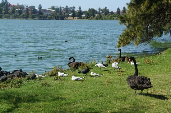 Lake Monger: Water birds