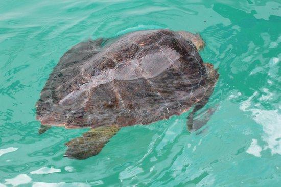 Lagoa Azul: Turtles!!
