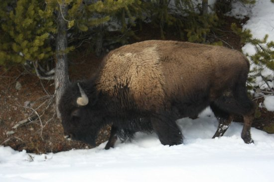 Buffalo Bus Day Tours: bison