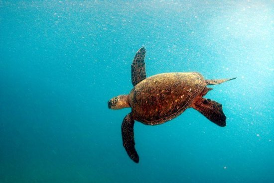 Hawaii Divers: huge turtles