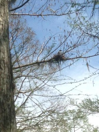 Cajun Country Swamp Tours: Yellow Crowned Night-Heron