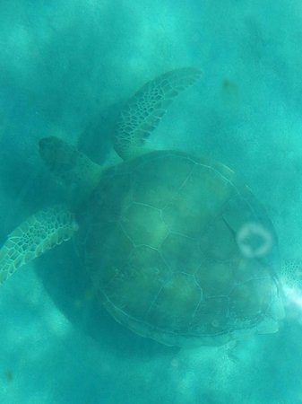 Gumption's Tours BVI : Very big tirtle swim by.