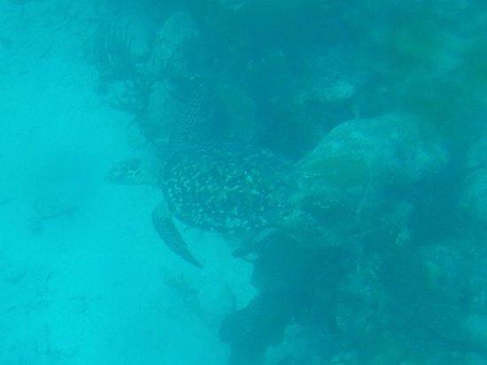 Gumption's Tours BVI : Green turtle swim by.